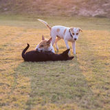 Thailand three dogs play. Stock Photography