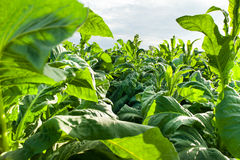 Thailand tobacco farm next to Khong River Stock Photography