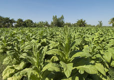 Thailand tobacco fields Royalty Free Stock Photos