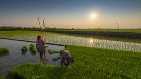Thailand u. x27; s-Reisernte Stockbilder