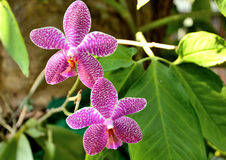 Thailand Vanda orchid Stock Photography