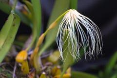 Thailand-Waldorchideenblume, das Medusa ` s Bulbophyllum Bulbop Lizenzfreie Stockbilder