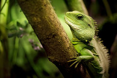 Thailand Water Dragon (Physignathus cocincinus) Royalty Free Stock Images