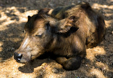 Thailand white cow calf has a rest in shade Royalty Free Stock Photos