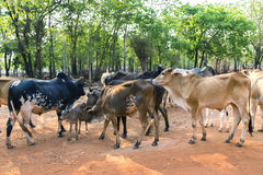 Thailand white cow herds Royalty Free Stock Photo