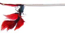 Thailändisches rotes betta kämpfende Fischspitzenform unter dem klaren Wasser lokalisiert Stockfoto