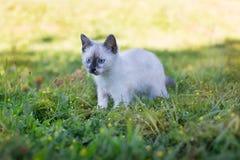 Thailändsk gullig kattungejakt Arkivbilder