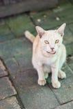 Thailändsk katt, djur och husdjur Arkivbilder
