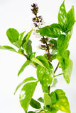 Thais citroenbasilicum Royalty-vrije Stock Afbeelding