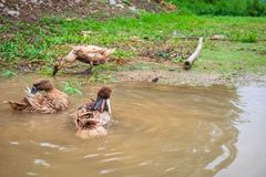 Thais Duck Bathing stock afbeeldingen