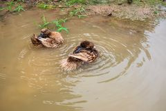 Thais Duck Bathing stock foto's
