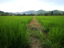 Thais gebied in nakornnayoklandbouwbedrijf Royalty-vrije Stock Foto's