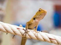 Thais kameleon Stock Fotografie