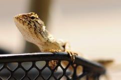 Thais kameleon Royalty-vrije Stock Foto