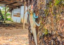 Thais kameleon die op boom beklimmen Stock Foto's