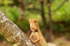 Thais kameleon op boom stock afbeelding