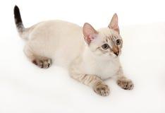 Thais katje. Stock Foto