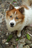 Thais klap-kaew-bons hond, close-up Stock Afbeeldingen