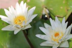 Thais wit waterlily Royalty-vrije Stock Afbeeldingen