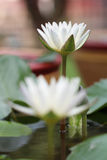 Thais wit waterlily Stock Foto's