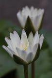 Thais wit waterlily Stock Afbeeldingen