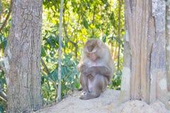 Thaise aap in openbaar park Stock Afbeeldingen