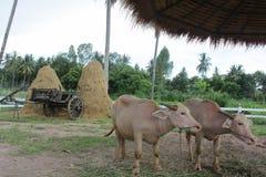 Thaise albinobuffels Royalty-vrije Stock Fotografie