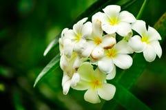 Thaise bloem Stock Afbeelding