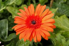 Thaise bloem Stock Foto