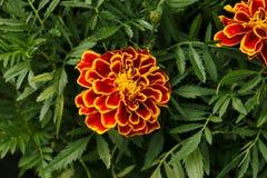 Thaise bloem Royalty-vrije Stock Afbeeldingen