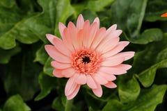 Thaise bloem Stock Fotografie