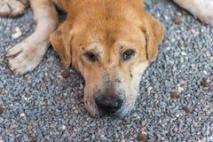 Thaise bruine verdwaalde hondslaap met eenzaam en juffrouw royalty-vrije stock afbeelding