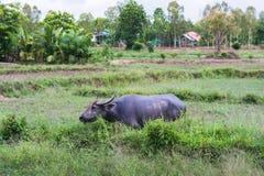 Thaise buffels Stock Afbeeldingen