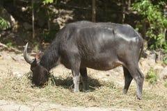 Thaise buffels Stock Fotografie