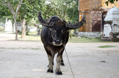 Thaise Buffels Royalty-vrije Stock Foto