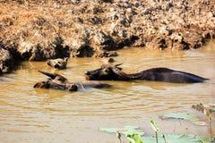 Thaise buffels in het water Stock Foto