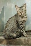 Thaise de kleurentijger van de kat Stock Foto's