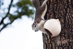 Thaise eekhoorn Royalty-vrije Stock Afbeeldingen