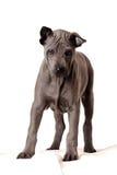 Thaise hond Ridgeback - Roxy Stock Afbeelding