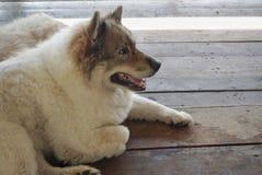 Thaise honden Stock Foto's