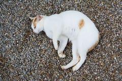 Thaise kat Stock Afbeeldingen