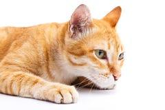 Thaise kat Stock Afbeelding
