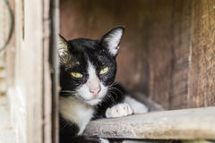 Thaise kat in het kijken actie Royalty-vrije Stock Afbeeldingen