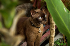 Thaise katten Stock Fotografie