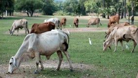 Thaise koe die gras op gebied eten stock videobeelden