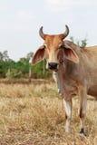 Thaise koe die zich op het gebied bevinden Royalty-vrije Stock Fotografie