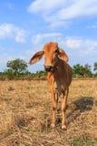 Thaise koe op het gebied met blauwe hemel Stock Afbeeldingen