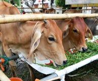 Thaise Landbouw van de Koe Stock Afbeeldingen
