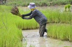 Thaise landbouwer Stock Foto's