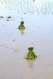 Thaise landbouwer die op de padielandbouwgrond planten stock fotografie